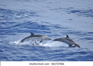 Striped dolphin (stenella coeruleoalba) in Ligurian sea