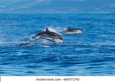 Striped dolphins in the Atlantic Ocean near to Pico Island in the Azores