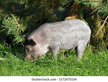 Striped domestic piglet grazing on forest pole
