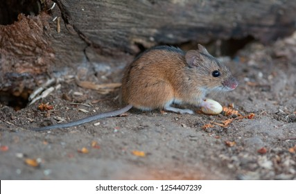 The striped field mouse (Apodemus agrarius) is a rodent in the family Muridae. Photo was taken in Ukraine