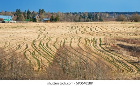 Striped field with traces of last year's crop and fresh seedlings of  April countryside.