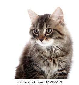 Striped fluffy cat. Striped not purebred kitten. Kitten on a white background. Small predator. Small cat.