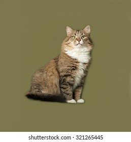 Striped fluffy Siberian cat sitting on green background