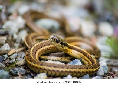 A Striped Garter Snake Resting on Rocks