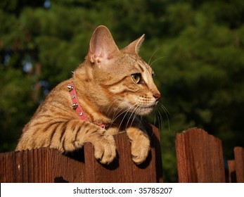 A striped gold colored female Serval Savannah cat looking over a wooden fence with golden yellow eyes wearing a pink collar.
