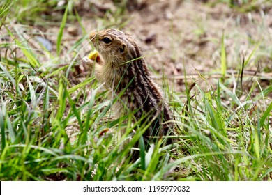 Striped gopher in the grass