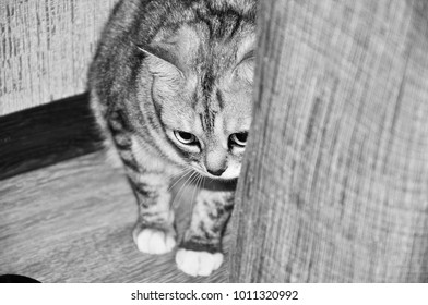 striped gray cat rubs against a sofa