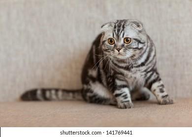 striped gray lop-eared cat