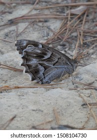 Striped grayling butterfly (Hipparchia fidia) - brown and white butterfly on the stones, El Albir, Costa Blanca, Spain