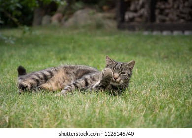 Striped, grey tabby cat lying in grass, looking in the camera, her one paw up