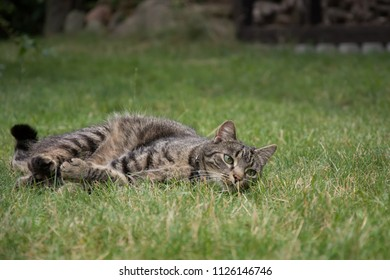 Striped, grey tabby cat lying in grass, watching something