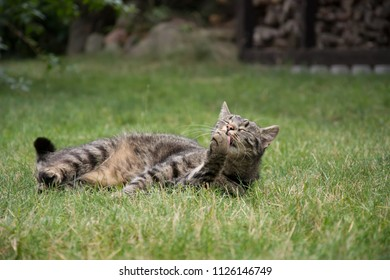 Striped, grey tabby cat lying in grass, licking her paw