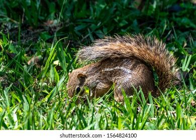 Striped ground squirrel (erus erythropus) foraging for food, Entebbe, Uganda