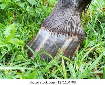 Striped hoof Appaloosa trait, beautiful, unusual horse trait