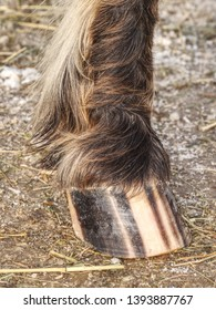 Striped hoof of brown dotted ponny horse, detail of stripes.  Ntural marking on horse hoof appear irregulary