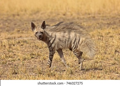 Striped Hyena at Blackbuck National Park, Gujarat, India