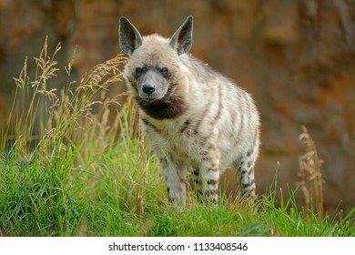Striped hyena, Hyaena hyaena, native to North and East Africa. Animal in the nature habitat. Hyena in the  grass, Kenya, Africa.