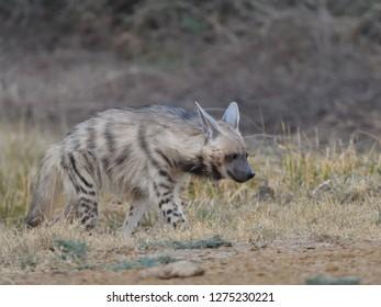 Striped Hyena in Little Rann of Kutch in Gujarat, India