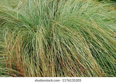 GroBartig Striped Japanese Sedge Silk Tassel (Carex Morrowii Var. Temnolepsis).