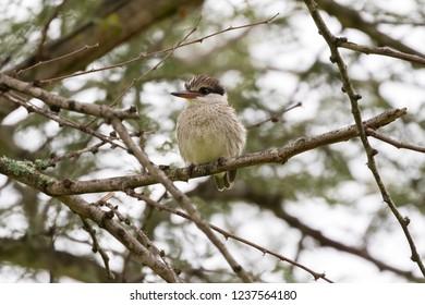 Striped Kingfisher bird perching on brach