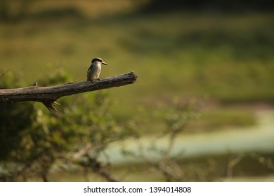 A Striped Kingfisher sitting alone on a branch