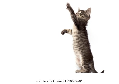 striped kitten stands on its hind legs