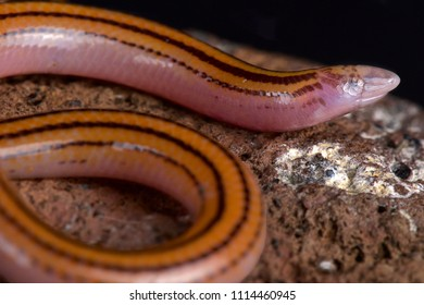 The Striped Legless Skink (Acontias lineatus) is a fossorial lizard species found across Southern Africa.
