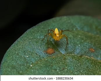 Striped lynx spider on leaf garden spider yellow spider on leaf in indian village garden spider image