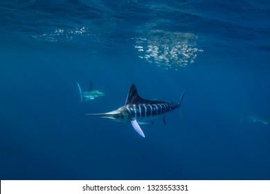 Striped marlin hunting sardines in Magdalena Bay, Baja California, Mexico.