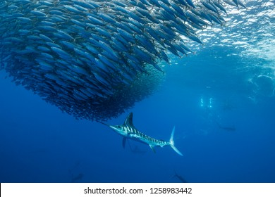 Striped marlin hunting sardines of the Pacific coast of Baja California Sur, Mexico.