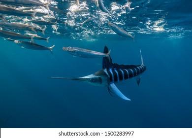 Striped Marlin, Kajikia audax, feeding on a sardine bait ball, Magdalena Bay area, Baja California, Mexico.