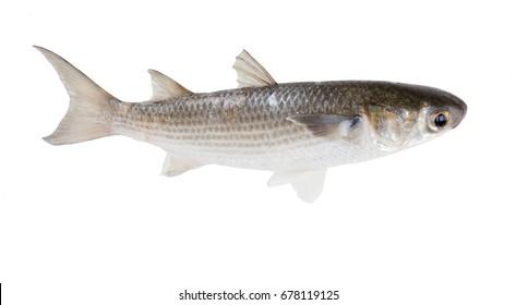 Striped mullet (Mugil cephalus) isolated on white background