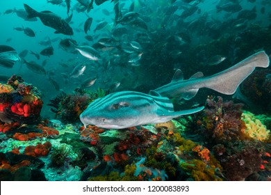 Striped pajama cat shark swimming over the coral reef, False Bay, South Africa.
