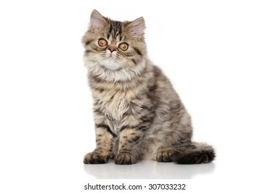 Striped Persian cat. Portrait in front of white background