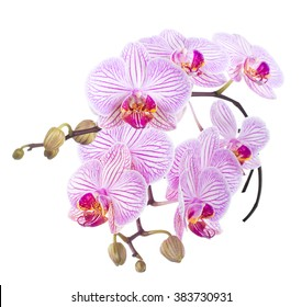 Striped Phalaenopsis orchid. isolated Phalaenopsis orchid. isolated