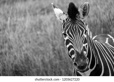 Striped plains zebra in the grass, looking to camera. Photographed in monochrome at Port Lympne Safari Park, Ashford Kent UK.