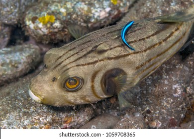 Striped puffer,Arothron is a genus in the pufferfish family Tetraodontidae