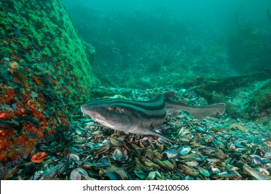 Striped pyjama shark swimming over the coral reef, False Bay, Cape Town, South Africa.