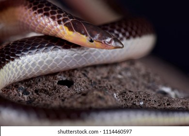 The Striped Quill-snouted Snake (Xenocalamus bicolor lineatus) is a rear-fanged venomous, fossorial snake species found in Southern Africa.