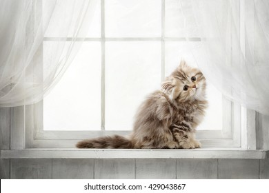 Striped red purebred cat looking out the window on a sunny day