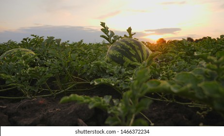 Striped ripe watermelons on the ground in a field at sunset, low angle slow motion shot