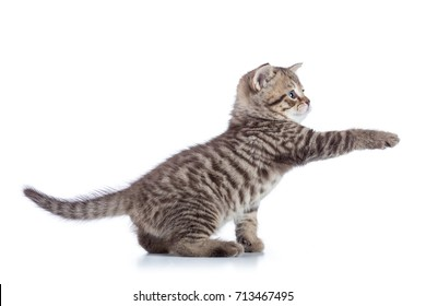 Striped Scottish kitten pure breed with paw stretched out isolated on white