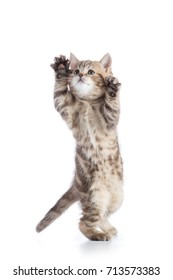 Striped Scottish kitten pure breed jumping isolated on white
