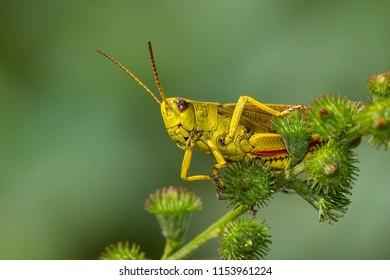 Striped Sedge Grasshopper perched on a flower stem. Elk Island national Park, Alberta, Canada.