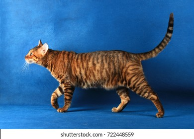 Striped short haired cat goes on a blue background