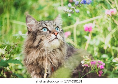 A striped Siberian cat sits in a field and looks at plants and flowers. Walking Pets in nature in the Park