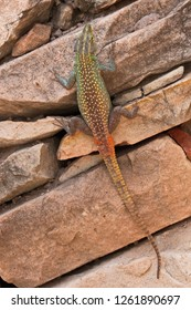 Striped sking at Mapungubwe Interpretation Centre in South African Republic in Africa