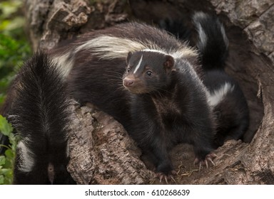 Striped Skunk Doe (Mephitis mephitis) in Log with Kits - captive animals
