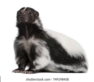 Striped Skunk, Mephitis Mephitis, 5 years old, sitting in front of white background