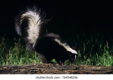 Striped Skunk, Mephitis mephitis, adult looking for food, Welder Wildlife Refuge, Sinton, Texas, USA, April